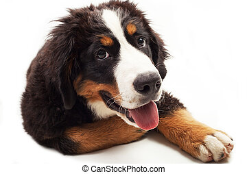 Bernese Mountain Dog on the white background