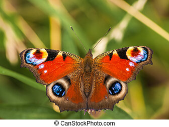 peacock butterfly /  inachis io
