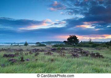 summer sunrise over marshes with heather - summer sunrise...