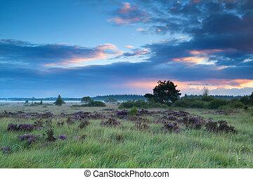 verão, amanhecer, sobre, pântanos, heather