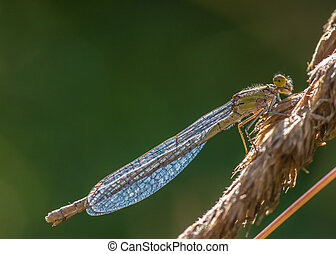 Damselfly Enallagma cyathigerum