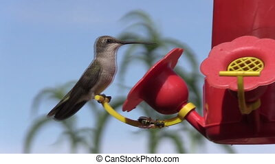 Hummingbird at Feeder - a hummingbird feeding at a backyard...