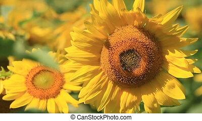 Sunflowers in the sunflower field w