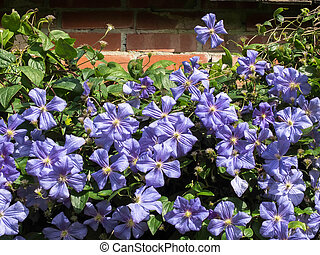 Blue Clematis growing against a brick wall