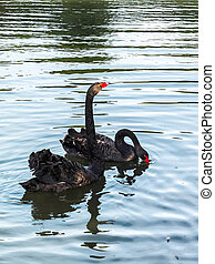 Black Swans cygnus atratus