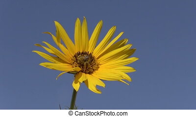 Sunflower and Bee - a bee pollinating a sunflower against a...