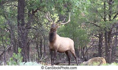 Bull Elk - a big bull elk rubbing his antlers on tree...