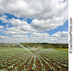 cabbage field - irrigation of young cabbage field