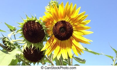 Sunflower on a sunny day and blue sky background