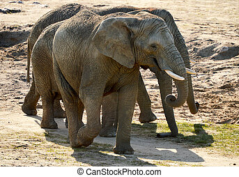 Group of African elephants in natural environment