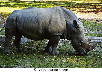 Rhinoceros in natural environment
