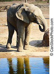 African elephant in natural environment