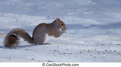 Curly tail - Squirrel with its long tail that are on the ice...