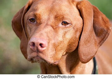 Closeup of a Vizsla Dog - A purebred Vizsla dog stares off...