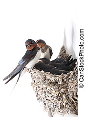guarding nestling - swallow the whole family ,against the...