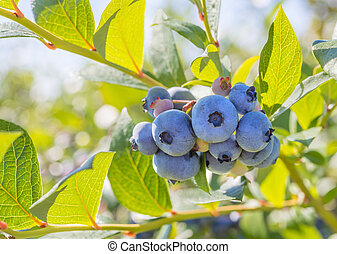 Blueberry Close-up (Annapolis Valley, Nova Scotia, Canada)