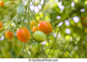 Closeup of growing grape tomatoes Annapolis Valley, Nova...