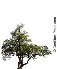 millennium tree - millennium old tree with white background