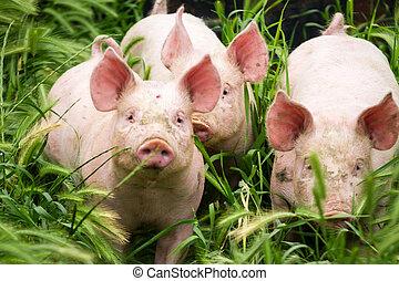 poco, tres, cerdos, campo, verano