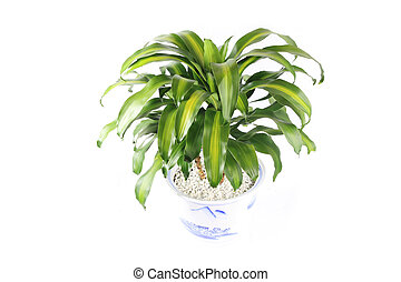potted fragrant dracaena - corn plant with white background...