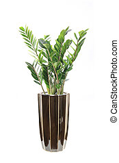 potted pachira macrocarpa with white background