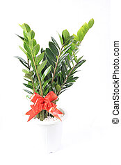 houseplant pachira macrocarpa with white background