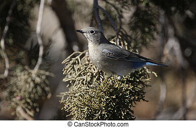 Mountain bluebird, Sialia currucoides, New Mexico, USA,...