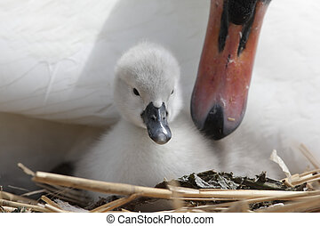 Mute swan, Cygnus olor, on nest with young, Abbotsbury,...