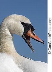 Mute swan, Cygnus olor, head, Abbotsbury, Dorset, spring...