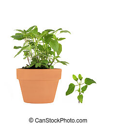 Bergamot Herb - Bergamot herb growing in a terracotta pot...