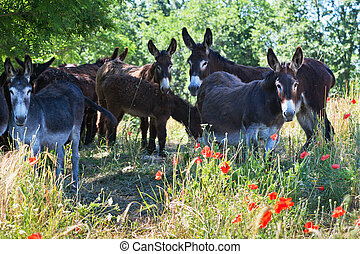 Herd of Donkeys in Italy, Le Marche - Herd of Donkeys on a...