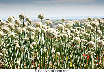 Onionfield in Italy - Flowering onionfield in Central Italy,...