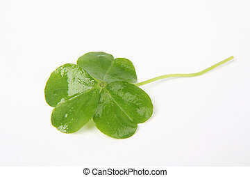 clover - three leaf clover with white background