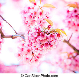 Sakura in winter at Doi Kunwang, Chaing mai Province,...