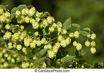 Crop of fresh ripe hop-agriculture background