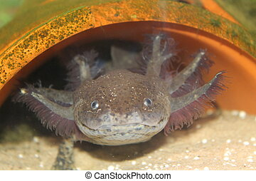 axolotl - this is my aolotl I have as a pet, i have a black...
