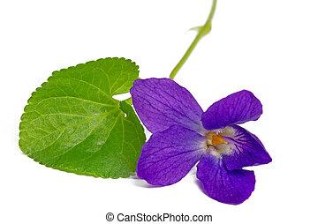 pourpre, violettes, isolé