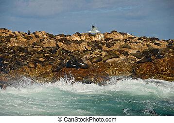 Seal Island/Geyser Rock, Gansbaai, Western Cape, South...