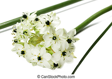 Star of Bethlehem - Ornithogalum arabicum, isolated