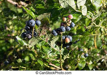 Blueberries Ripening Under Netting