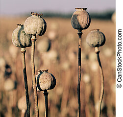 Opium poppy head, field out of focus in background.