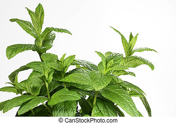 Mint - Mentha, isolated
