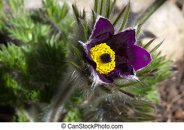 Blooming Pasqueflower - Closeup