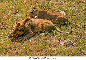 Two lions eating meat - Two female lions eat their prey