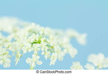 Soft Queen Anne's Lace flowers - Clusters of Queen Anne's...
