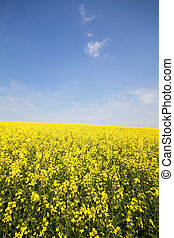 Blooming Rapeseed Field in Bavaria (Brassica napus)