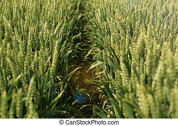 wheat field way path - Pathway through ripening wheat under...