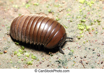 Close up Pill-bug in the nature