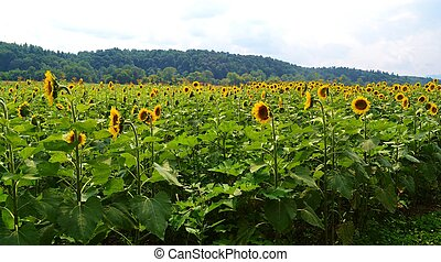 A Big Field of Sunflowers - A big field of sunflowers...