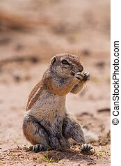 Ground squirrel eating grass roots in the hot kalahari sun